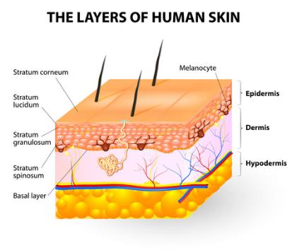 تركيبة جلد الانسان