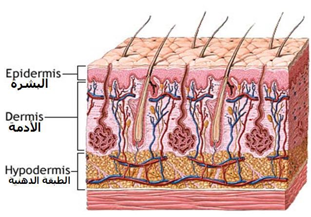 وظائف جلد الانسان