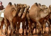 """""""ترقيم القبائل"""" ظاهرة جديدة تجتاح السعودية.. ما قصتها؟"""