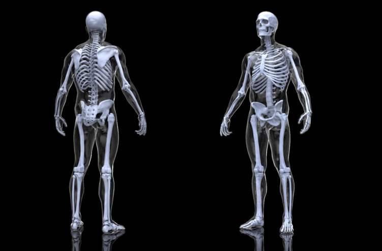 عدد العظام في جسم الانسان
