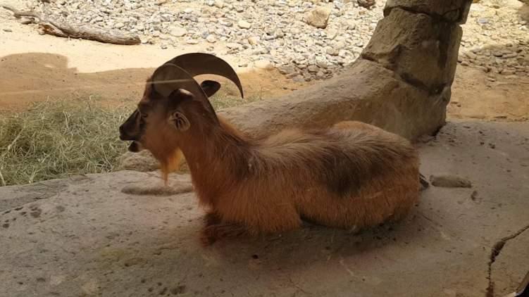 """الإمارات تحمي حيوان """"الطهر العربي"""" النادر من الإنقراض"""