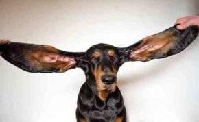 """كلب ينال لقب صاحب """"أطول أذنين في العالم"""""""