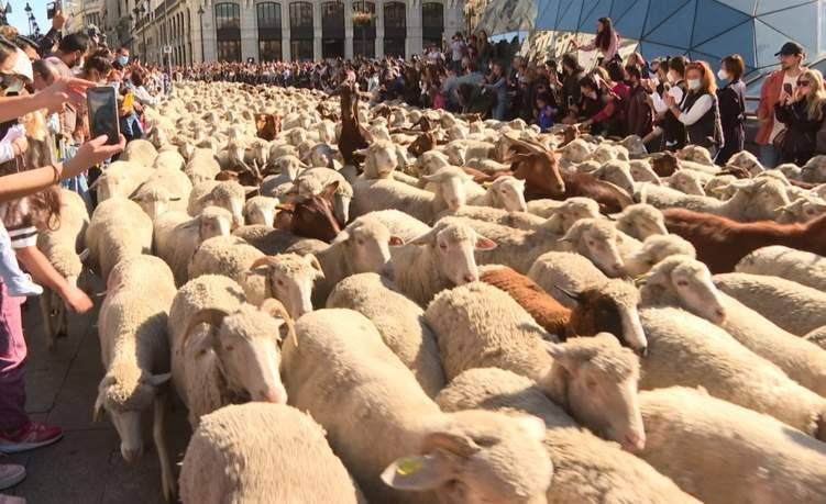 شاهد.. الأغنام تغزو شوارع مدريد