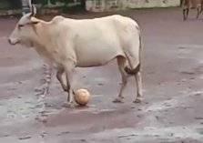 بالفيديو.. بقرة ذكية تشتهر بمهاراتها الرائعة في كرة القدم
