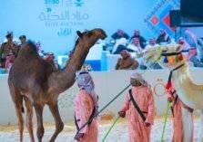 في السعودية.. مزاد الإبل تسجل أرقاماً بالملايين