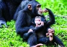 لماذا تتناول القرود أدمغة صغارها؟