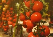 الموت قادم من الطماطم .. كيف نحمي أنفسنا؟
