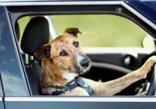 رجل يسلم قيادة سيارته لكلبه!