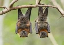 6 أنواع من فيروسات كورونا في الخفافيش!