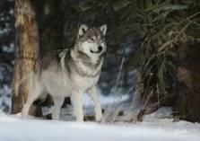 شاهد.. عراك دموي بين ذئب وإنسان