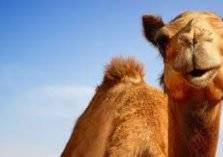 في السعودية: حفل زفاف ناقة وجمل بمشاركة المشاهير
