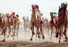 السعودية: رقم قياسي وجوائز خيالية في ختام مهرجان ولي العهد للهجن
